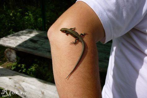ящерица на руке