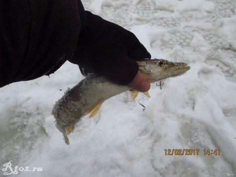 небольшая щука зимой 7