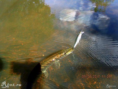 Щука с приманкой в воде