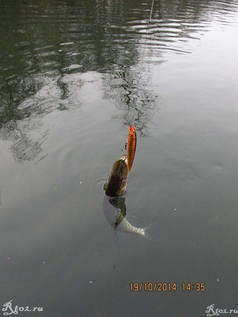 щука с воблером в воде 1