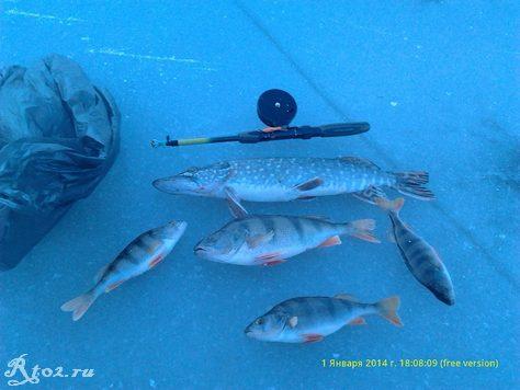 Улов хищной рыбы зимой на десне