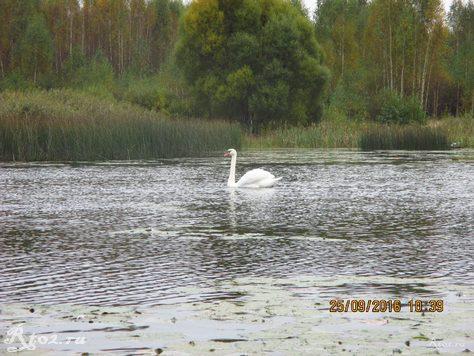 Лебедь на озере 2