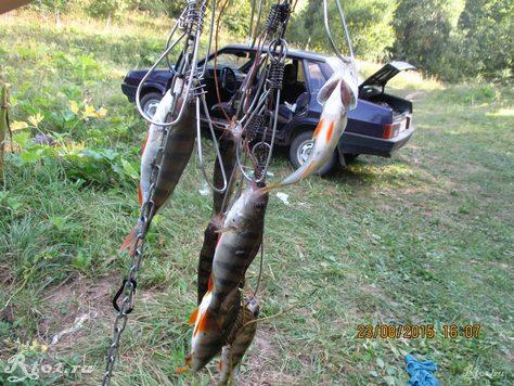 улов окуней на озере удочкой