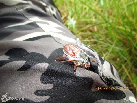 майский жук в июне