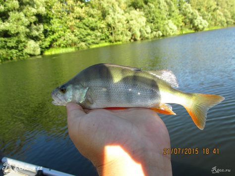 окунь на озере на силикон 3ФГ 7
