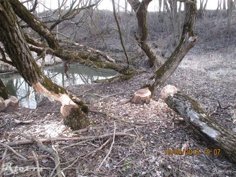 поваленные бобрами деревья 1
