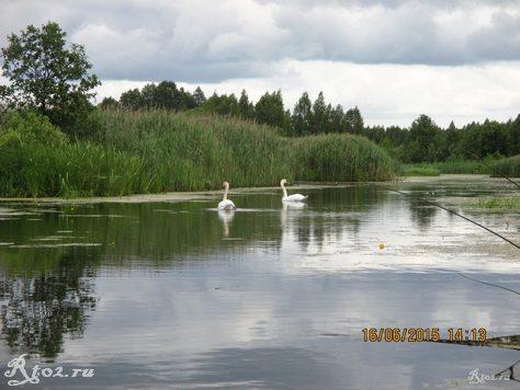 лебеди на озере 1