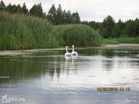 лебеди на озере 2