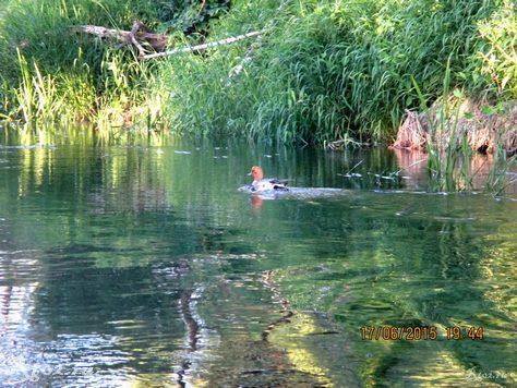 утка на реке 345