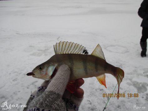 окунь на балансир на озере зимой 436
