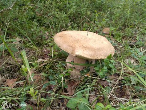 Белый гриб 435345