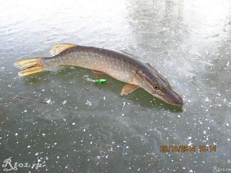 щука на первом льду