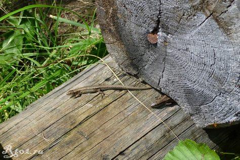 ящерица на бревне