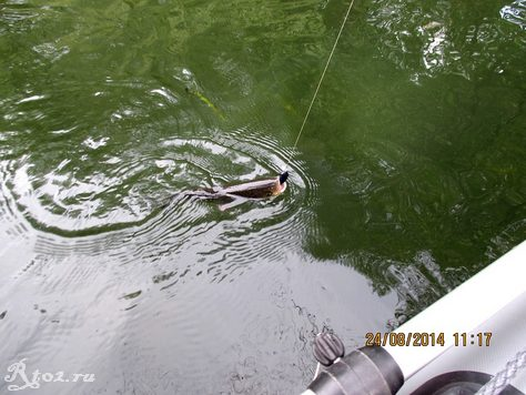 Голавль в воде с воблером 2