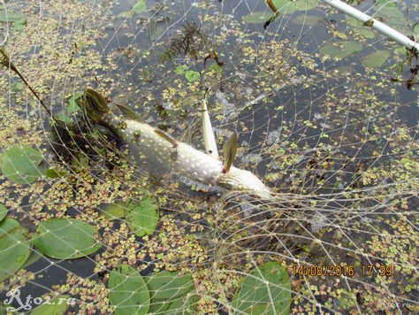 небольшая щука на заросшем озере