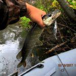Ловля щуки спиннингом на небольшой реке сплавом в октябре 2017
