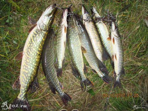 улов хищника осенью на реке