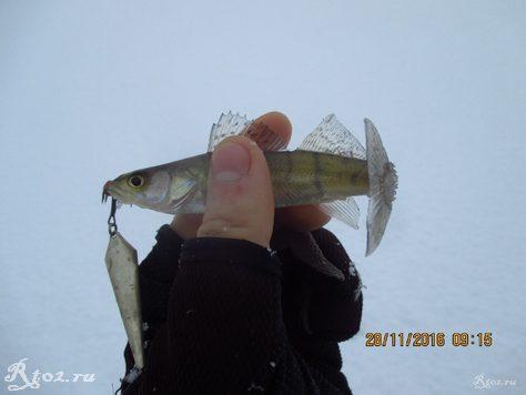 мелккий судак на белую блесну сож 2
