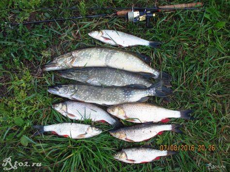 улов хищной рыбы на реке спиннингом