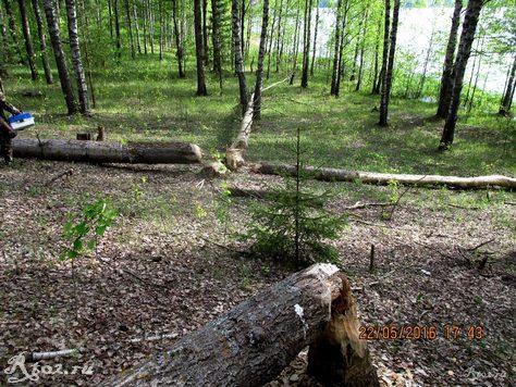 бобры устроили повал деревьев