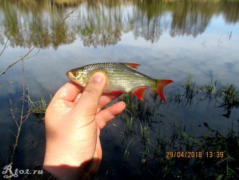 красноперка на озере 43566