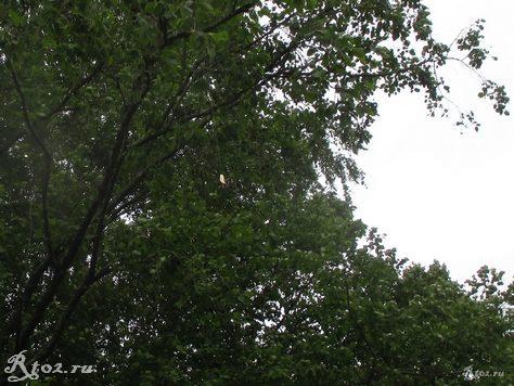 блнсна на дереве 43