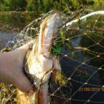 Ловля щуки осенью в сентябре на китайские воблеры Wlure с Aliexpress