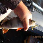 Ловля хищника на озере спиннингом. День четвертый