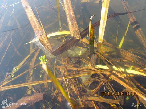 икра окуня на прибрежной траве 1