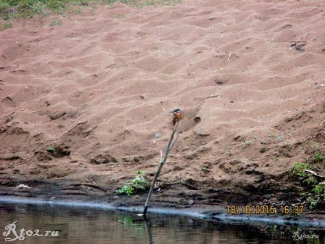 птица зимородок