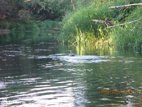 утка на реке 3456