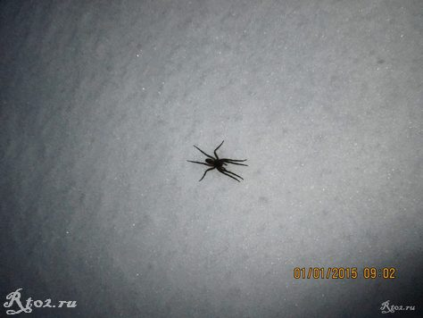 паук на снегу 3