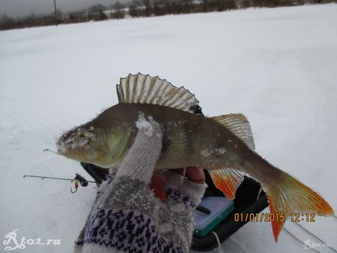 окунь на балду зимой на озере 113