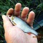 Вечерная ловля на поплавочную удочку белой рыбы