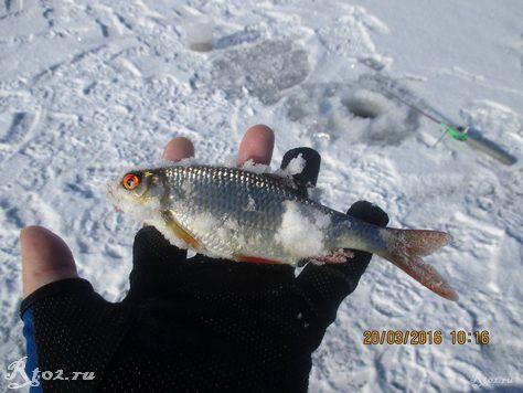 плотва зимой на озере