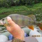 Ловля белого хищника на реке Днепр в июне. День третий