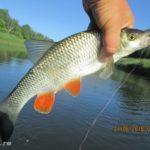 Ловля белого хищника на реке Днепр в июне. День второй