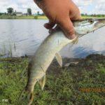 Ловля щуки и окуня спиннингом с берега на озере
