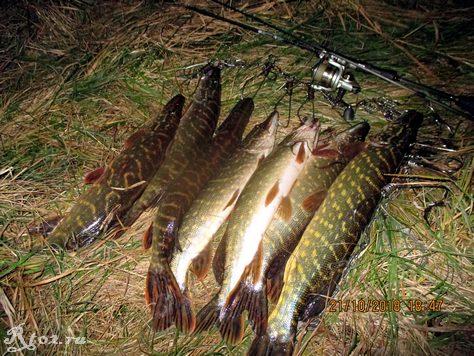 улов щуки на малой реке в октябре