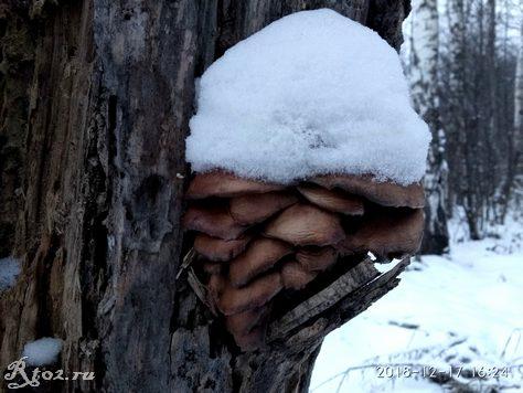 грибы вешенки 1