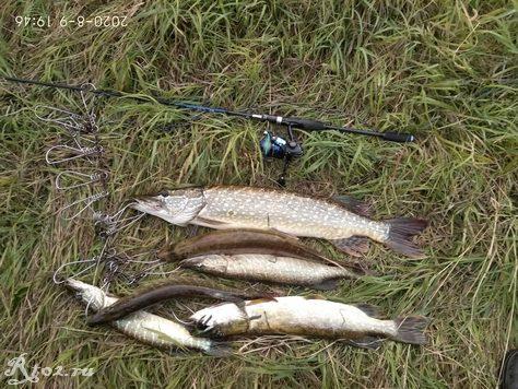 Шесть щук на спиннинг 9 агуста 2020 на малой реке