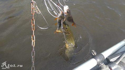 промежуточный улов на местном озере в середине августа 2021